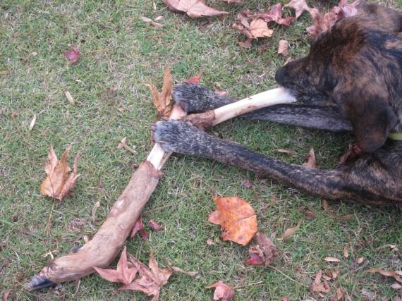 deer leg